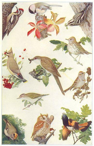 Associate Product AMERICAN BIRDS. Woodpecker Sapsucker Chickadee Warbler Waxwing Sparrow 1907