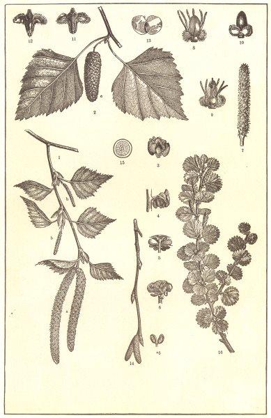 Associate Product BIRCH. Spray; flowers; Twig; catkin; Fruit case; buds; branch; Dwarf 1907