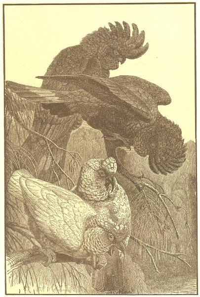 Associate Product BIRDS. Cockatoos; Slender-billed Cockatoo; Black Crow 1907 old antique print
