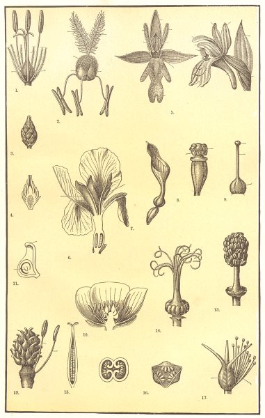 Associate Product FLOWER MORPHOLOGY. Bulrush Grass Orchid Iris Aristolochia Gentian Violet 1907