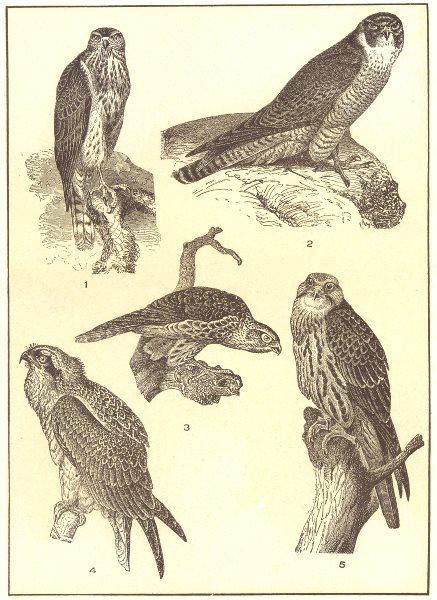 Associate Product BIRDS. Falcons; Goshawk; Marsh Hawk; Pigeon Merlin; Fish; Saker Falcon 1907