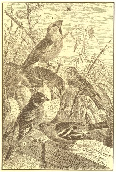 Associate Product BIRDS. Song Finches; Hawfinch; Greenfinch; Linnet; Chaffinch; Mtn Finch 1907