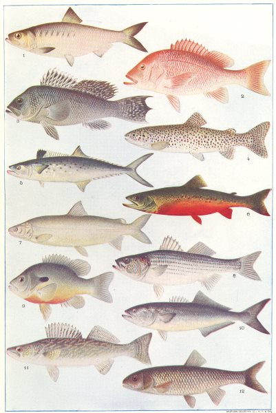 Associate Product FISH. Alewife Snapper Striped Sea bass Mackerel Trout Whitefish Sunfish 1907