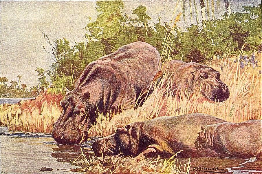 Associate Product AFRICA. Hippopotamus(Hippopotamus amphibius) 1907 old antique print picture