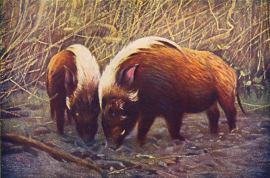 Associate Product PIGS. Wild Boars(Sus Porcus) 1907 old antique vintage print picture