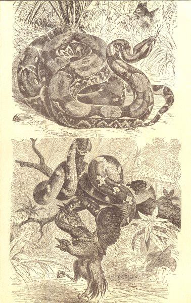 Associate Product SNAKES. Boas; 1. Boa Constrictor; 2. Dog-Headed(Xiphosoma Caninum) 1907 print