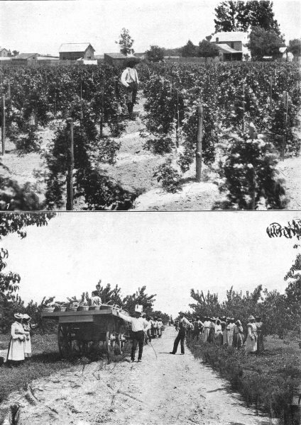 Associate Product MARYLAND. Fruit Growing; Dewberry field; Gathering peaches Georgia 1907 print