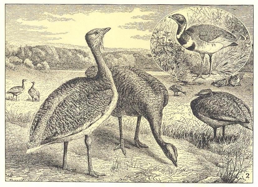 Associate Product BIRDS. Bustards; 1 Little Bustard; 2 Great Bustard 1907 old antique print
