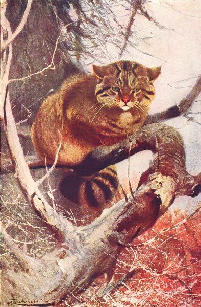 Associate Product EUROPE. European Wildcat(Felis Catus) 1907 old antique vintage print picture