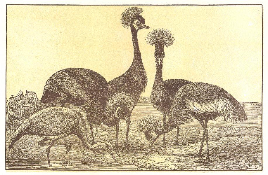 Associate Product BIRDS. Demoiselle Crane(Grus Virgo); Crested(Balearica Pavonina) 1907 print