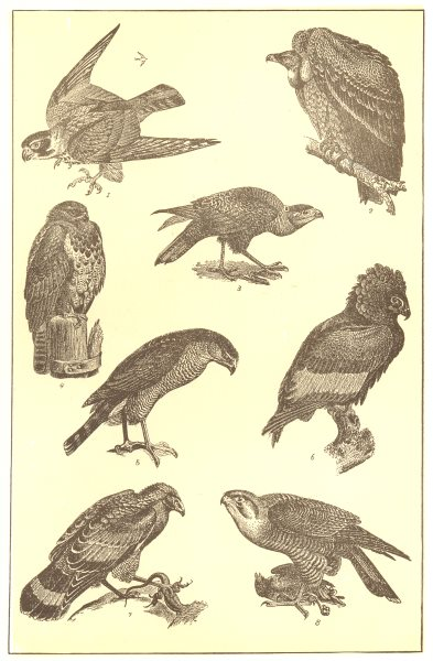 Associate Product BIRDS PREY. Hobby Ruppell Vulture Carancho Buzzard Bataleur Eagle Turumti 1907