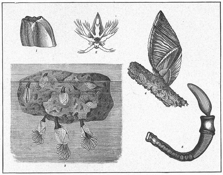 Associate Product BARNACLE BALANOGLOSSUS. Lepas; Mussel; Megalasma Striatum; clavigerus 1907