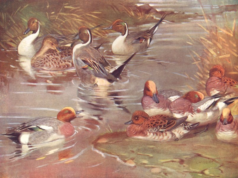 Associate Product BIRDS. Wildfowl. Wigeon (lower) Pintails courting (upper four)  1924 old print