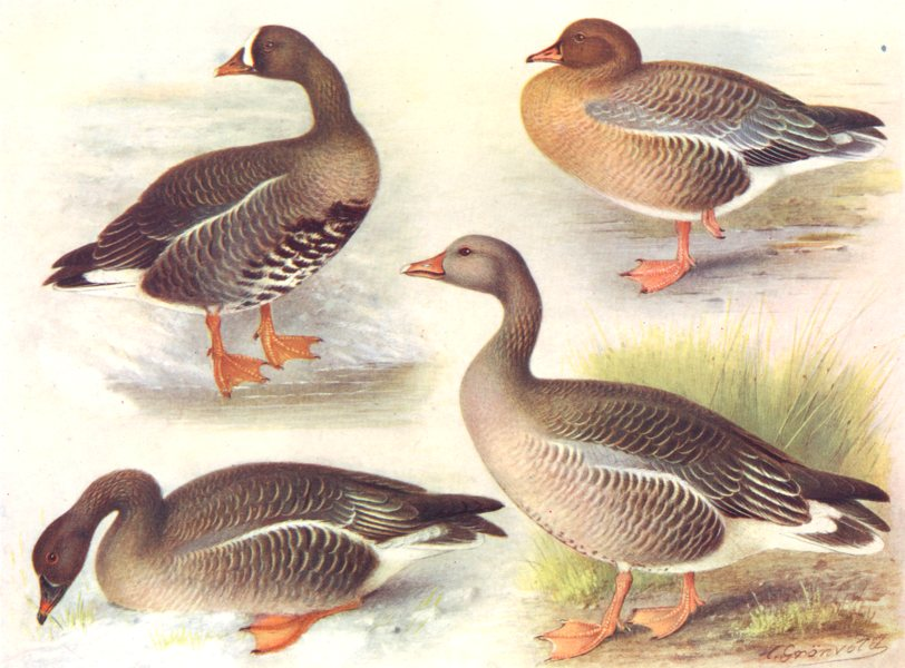 Associate Product BIRDS. Wildfowl. Grey geese. Whitefronted-goose;Pinkfooted-;Bean-;Greylag  1924