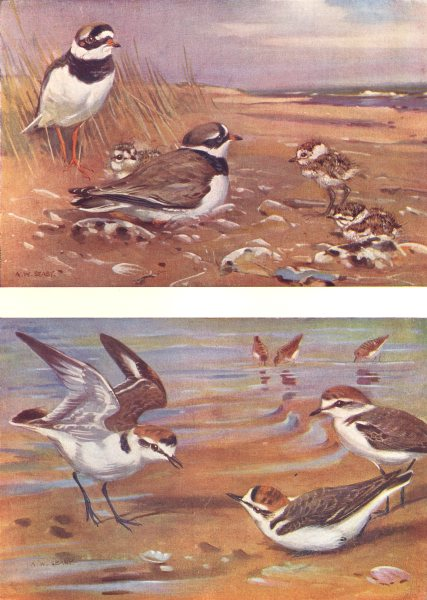 Associate Product BIRDS. Plovers and Curlews. Upper. Ringed-plover Lower. Kentish-plover 1924