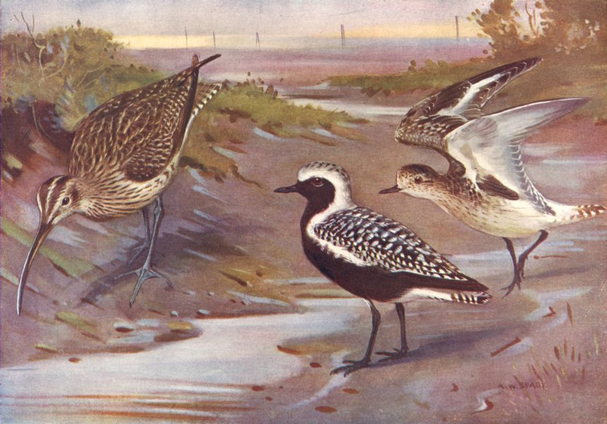 Associate Product BIRDS.Plovers & Curlews.Right.Grey-plover, Adult & Immature Left.Whimbrel 1924