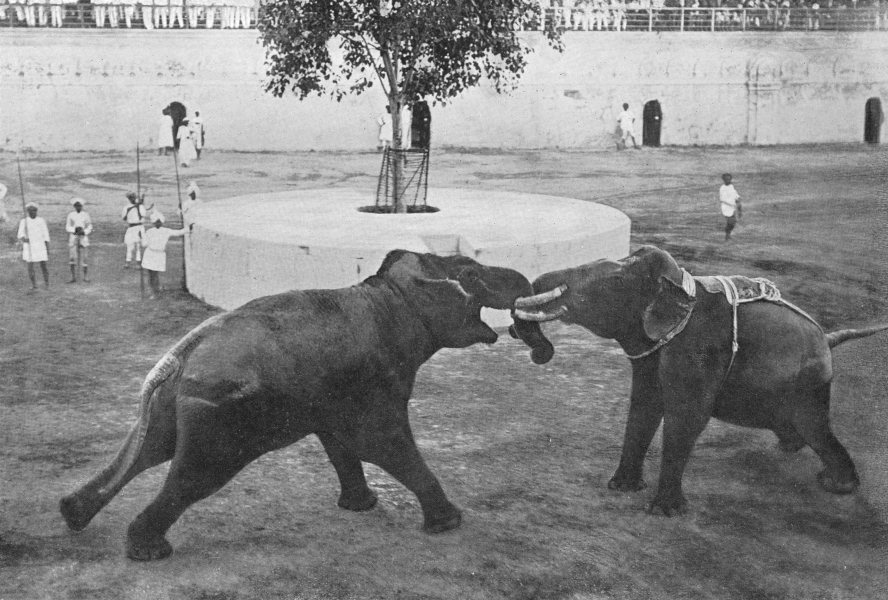 Associate Product INDIA. Elephants fighting;tusks artificially truncated & trunks interlocked 1900