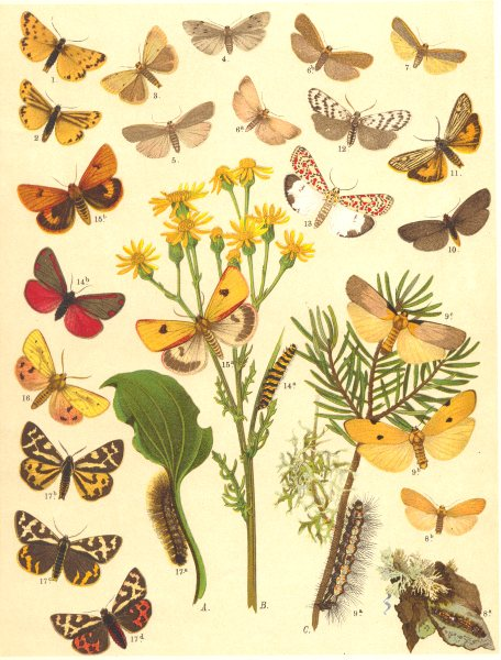 Associate Product FOOTMAN MOTHS. Bombyces; Arctiidae. Streaked Alpine Dew; 4-Spot, Dun, Buff 1903