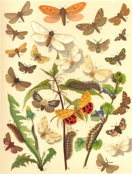 Associate Product TIGER MOTHS. Swift,Spotted,Alpine,Northern,Ruby,Dingy; Muslin; Buff Ermine 1903