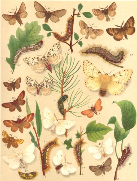 Associate Product MOTHS. Lasiocampidae-Satin Eggars, Black White Brown Gold-tail;Arches;Gipsy 1903
