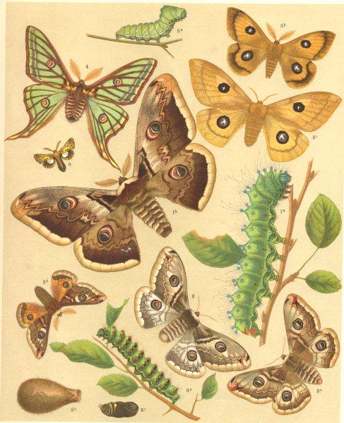 Associate Product MOTHS. Bombyces. Great Peacock; Austrian Emperor; Tau; Sloe Blackthorn 1903