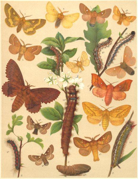 Associate Product EGGAR MOTHS. Lackey, Grass; Drinker, Lappet, Hawthorn; Plum 1903 old print