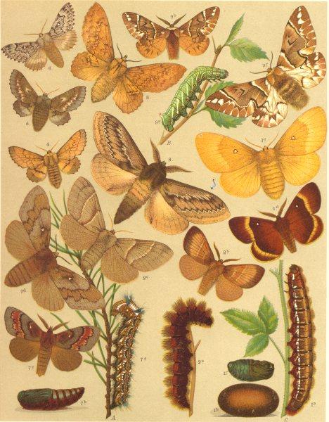 Associate Product MOTHS.Endromidae.Oak Eggar.Fox;Pine Lappet;Kentish Glory;Scotch Fir;Birch 1903