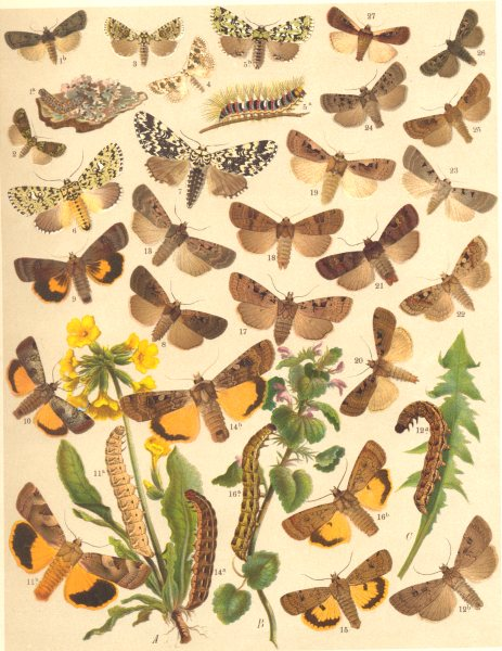 Associate Product OWL MOTHS. Marbled Green, Beauty; Marvel Jour; Double Dart 1903 old print