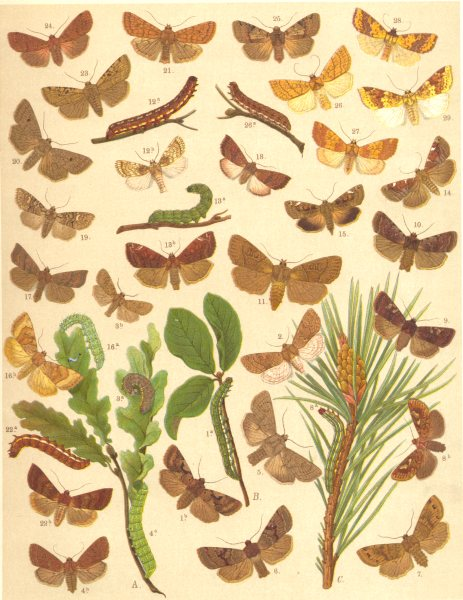 Associate Product OWL MOTHS. Blossom Underwing;Cmn,Powdered,twin-spotted Quaker;Clouded drab 1903