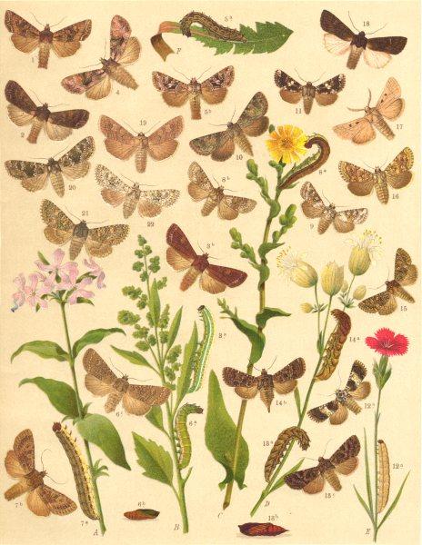 NOCTUAE MOTHS. Pale-shouldered Brocade; Dog's Tooth; Nutmeg; Ranunculus 1903