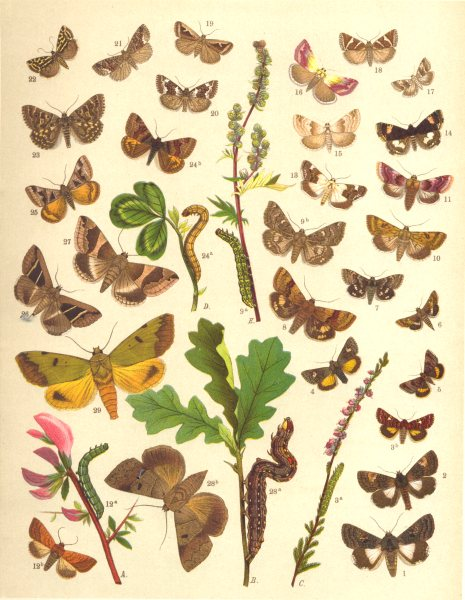 Associate Product OWL MOTHS. Beautiful,Yellow Underwing;Marbled,Spotted Clover;Pease-blossom 1903