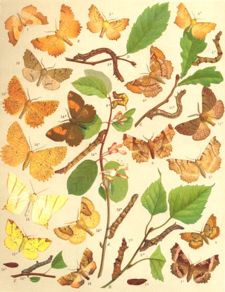 Associate Product THORN MOTHS. Geometrae-Loopers;Aug;Canary-shouldered;Sep;Early;Lunar;Purple 1903