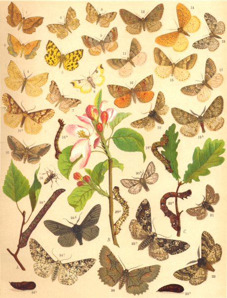 Associate Product LOOPER MOTHS. Geometrae;Little Thorn;Speckled Yellow;Sharp-angled Peacock 1903