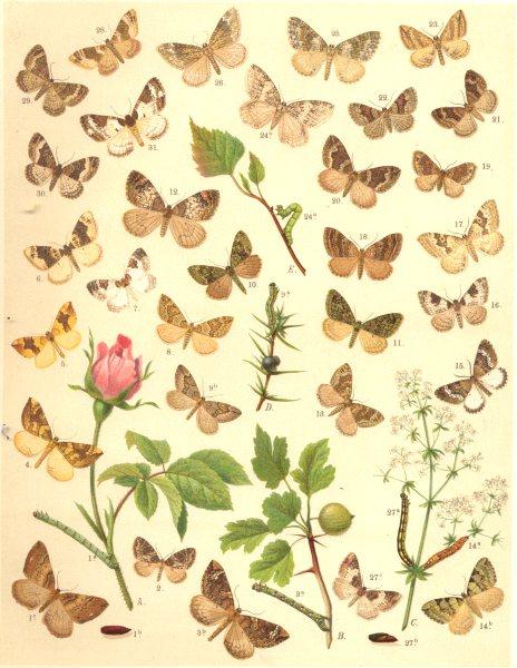 Associate Product LOOPER MOTHS. Reticulated,Blue Carpet; Phoenix; Spinach; Yellow; Purple Bar 1903