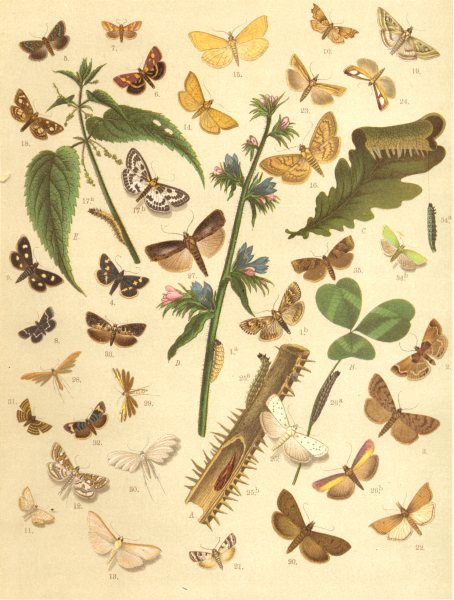 Associate Product MOTHS. Starry Brindle; Scarce Crimson & Gold; Wavy-barred Sable; White Spot 1903