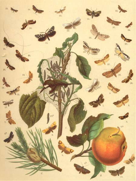 Associate Product TORTRIX MOTHS.White Foot,Chequered Pebble,Double Orange Spot,Lemon,Resin 1903