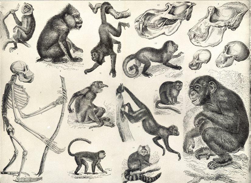 PRIMATES.Skeleton;Kahau proboscis,Mona,Night,Capucin monkey;Coaita;Marmoset 1907