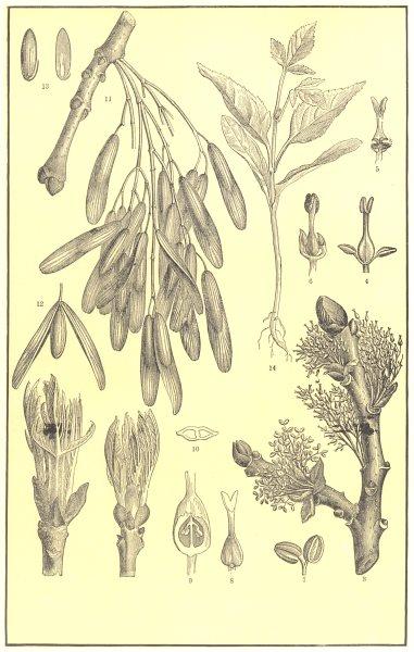 Associate Product TREE.Ash(Fraxinus excelsior);unfolding bud;flower;Androgynous;stamen;pistil 1907