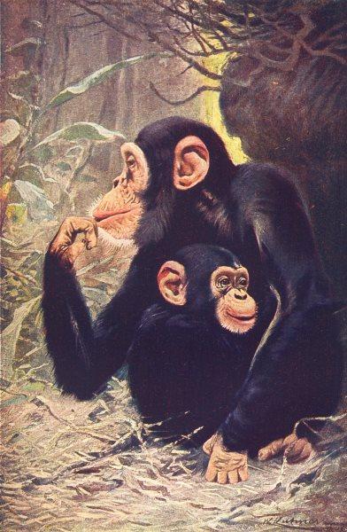Associate Product PRIMATES. Chimpanzee (Anthropopithecus Niger)  1907 old antique print picture