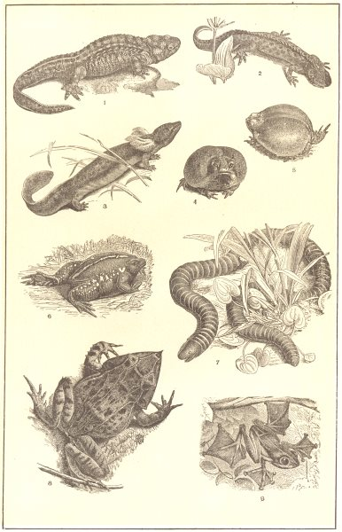 Associate Product AMPHIBIANS.Salamander;E African,Mexican Toad;Amphisbaena;Horned,Flying Frog 1907