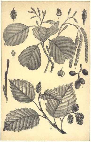 Associate Product ALDER. Twig budding Catkins(Alnus glutinosa)Flower anther Stamen Fruit Bud 1907