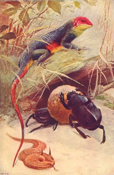 REPTILES. Lizard (Agama colonorum) Beetle (Ateuchus sacer) Horned Viper 1907