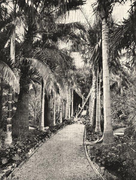 ALPES- MARITIMES. Les Cocotiers du Golfe Juan 1900 old antique print picture
