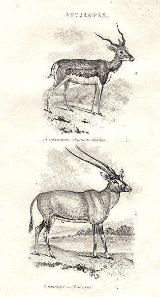 Associate Product MAMMALS. Antelopes. Cervicapra- Cmn Antelope; O. Leucoryx- Leucoryx 1880 print