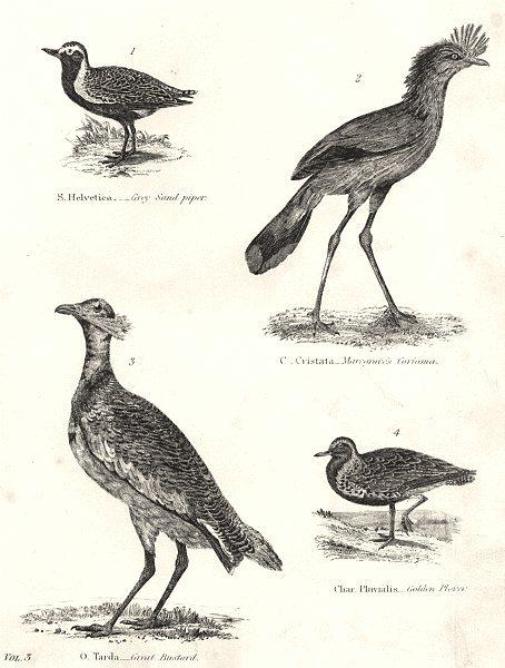 Associate Product BIRDS.Bustard Squatarola;Grey Sand Piper;Marcgrave Cariama;Gt;Golden Plover 1880