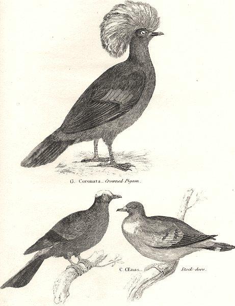 Associate Product COLUMBIDAE.Coronata-Crowned Pigeon;Cenas-Stock-dove;Punicea-Whiteheaded 1880