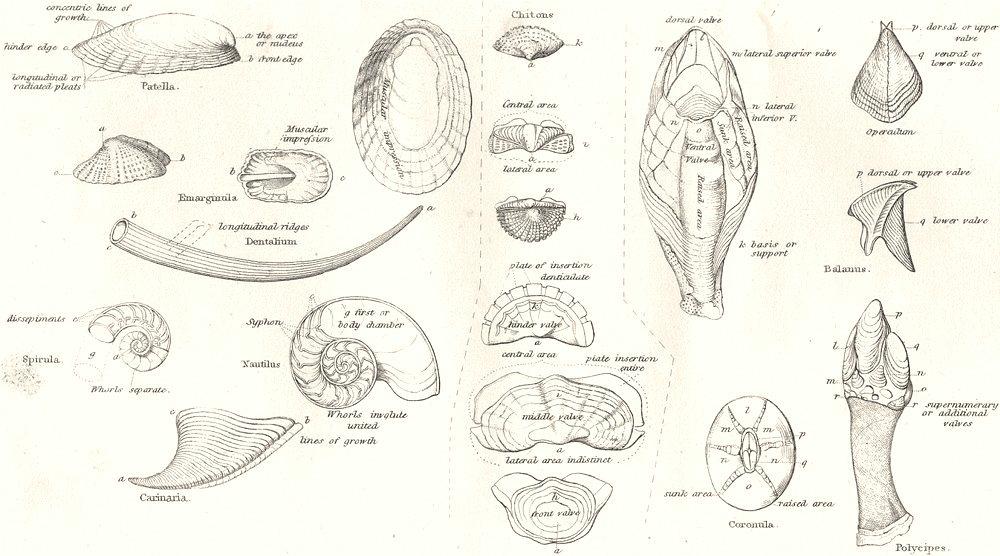 Associate Product CONCHOLOGY. Symmetrical univalves, Serial Mollusca, Cirrhipeds Crustaceae 1880