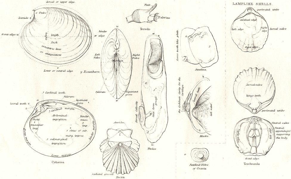 Associate Product CONCHOLOGY.Bivalve shells,Lamplike;nucleus;peristome;columella;umbilicus 1880