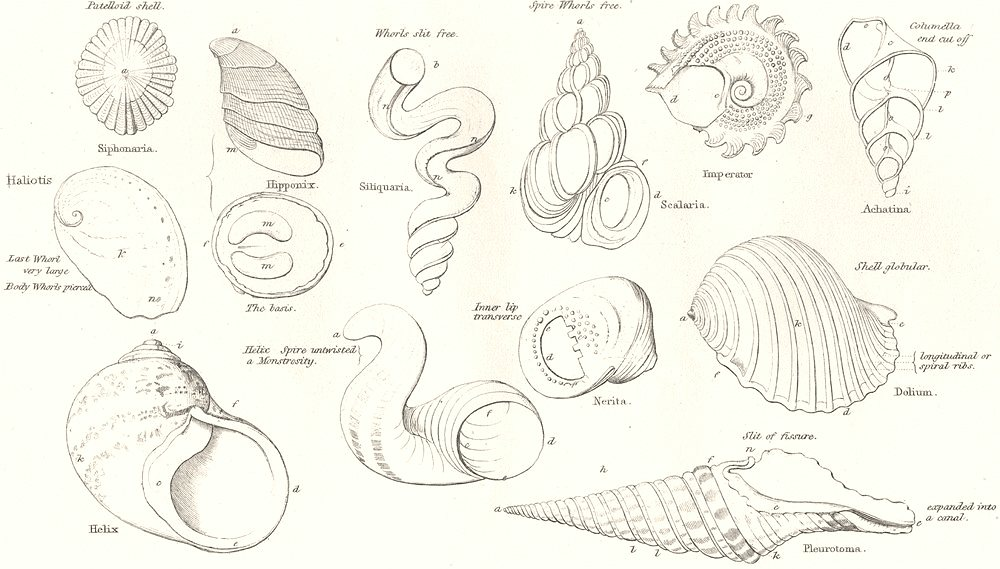 Associate Product CONCHOLOGY. Spiral Subspiral shells. Peristome; columella; umbilicus; whorl 1880