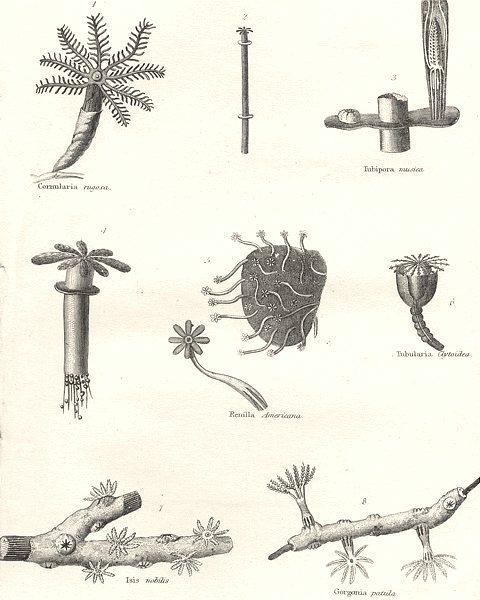 Associate Product CORALS.Cornularia rugosa;Tubipora musica;Renilla Americana;Tubularia;Isis 1880